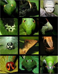 "Caterpillar ""faces"" from Janzen, D. H., W. Hallwachs, and J. M. Burns. 2010. A tropical horde of counterfeit predator eyes. PNAS 107:11659-11665."